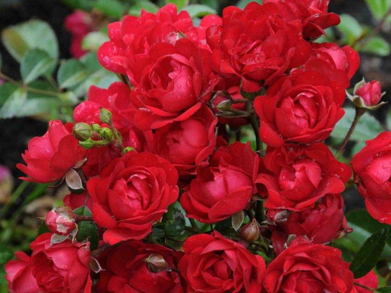 Цветки землянично-красные, с темно-карминовым оттенком, крупные, махровые (фото)