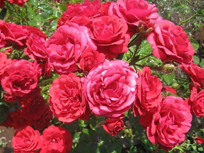 Цветки крупные, открытые, чашевидные (фото)