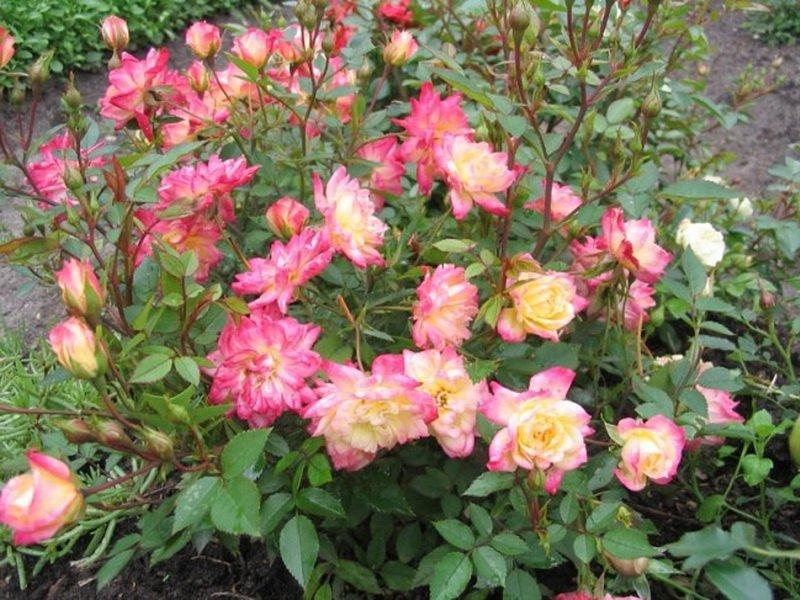 Сорт полиантовых роз «Дагмар Шпет» на фото