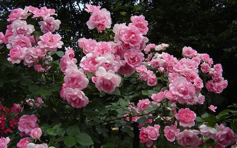Описание группы полиантовых роз