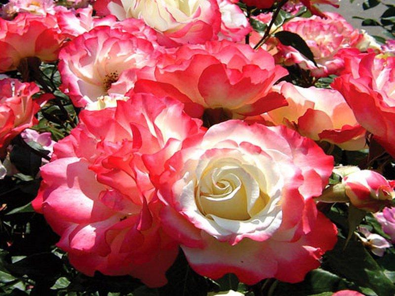 Цветки махровые, алебастрово-белые, с розоватыми краями лепестков (фото)