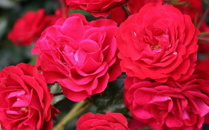 Сорта полиантовых роз фото