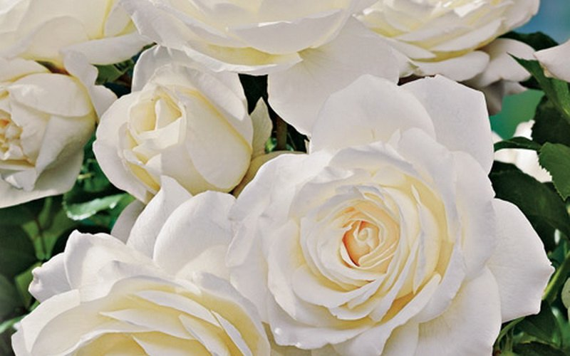 Розы «Снежная королева» на фото