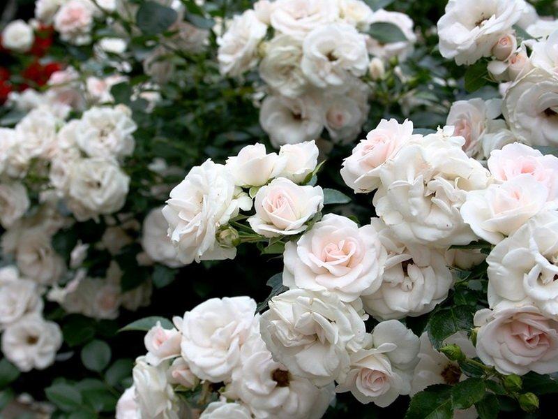 Сорта полиантовых роз, «Фрау Карл Друшка» на фото