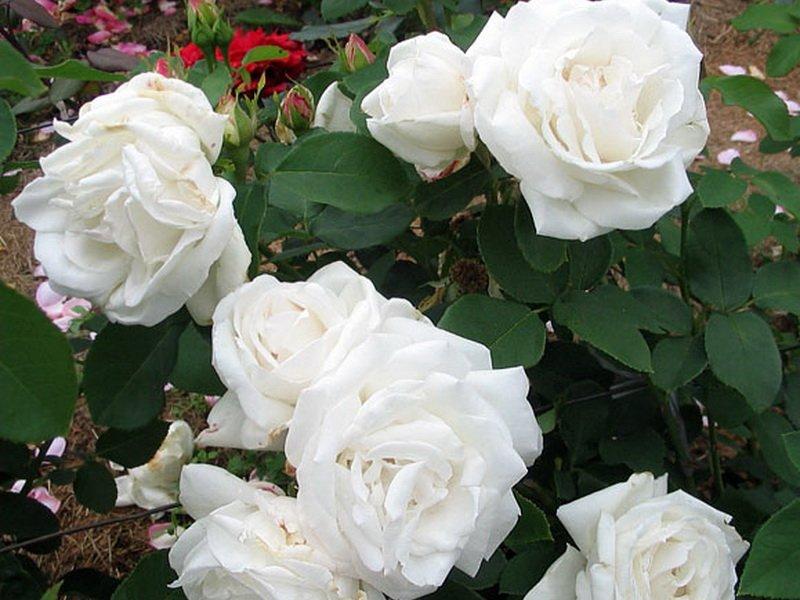 Популярные в Подмосковье розы «Фрау Карл Друшка» на фото