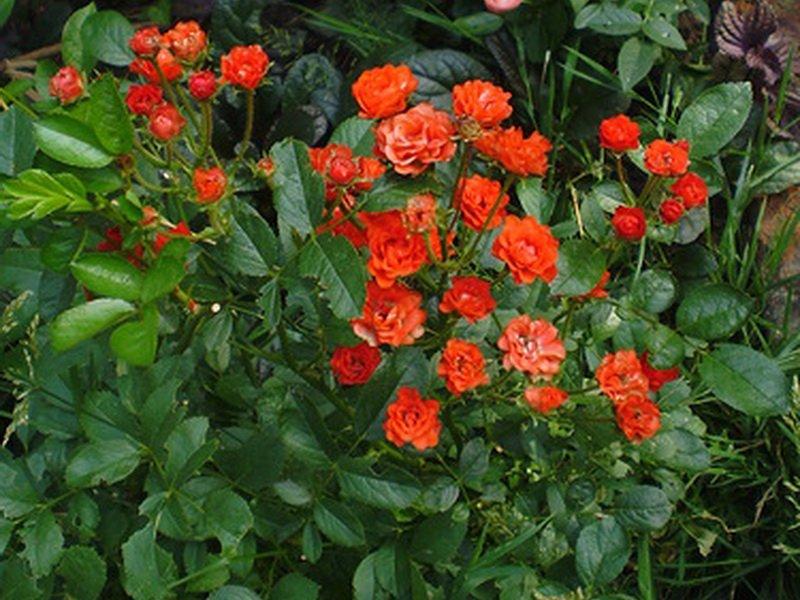 Цветки махровые оранжево-алого цвета (фото)