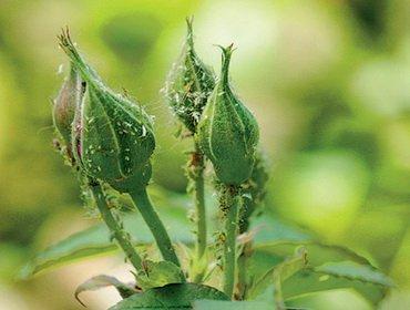 Вредители роз: описание и средства борьбы