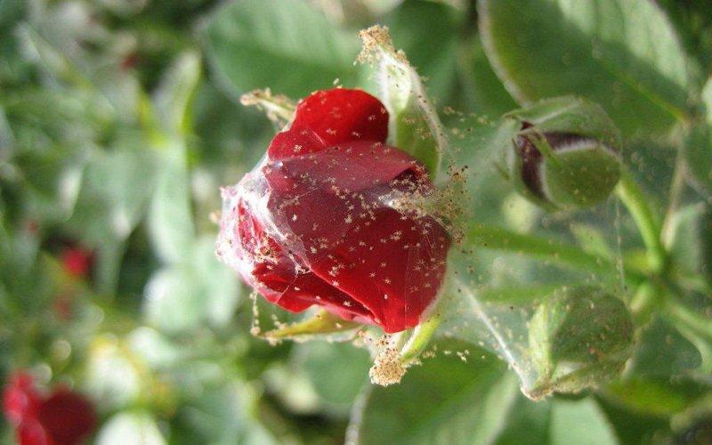 Чем обработать розы для борьбы с паутинным клещом