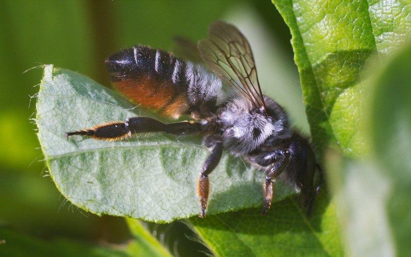 Вредитель роз пчела-листорез: фото и меры борьбы