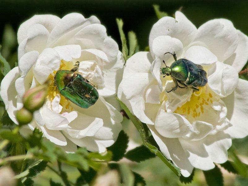 Бронзовка золотистая на розах (фото)