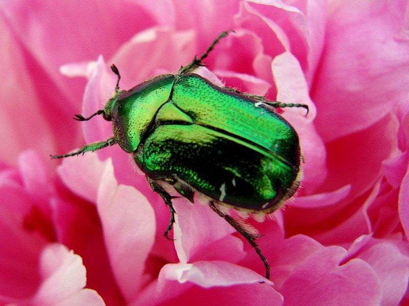 Блестящий зеленый жук с медно-золотистым оттенком очень любит желтые и белые розы (фото)