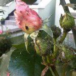 Как избавиться от тли на розах простыми способами