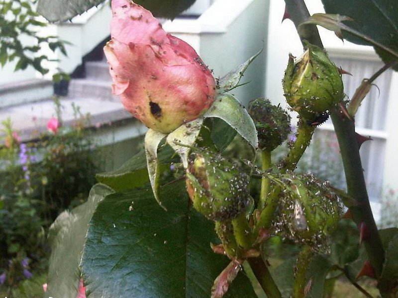 тля на розах (фото)