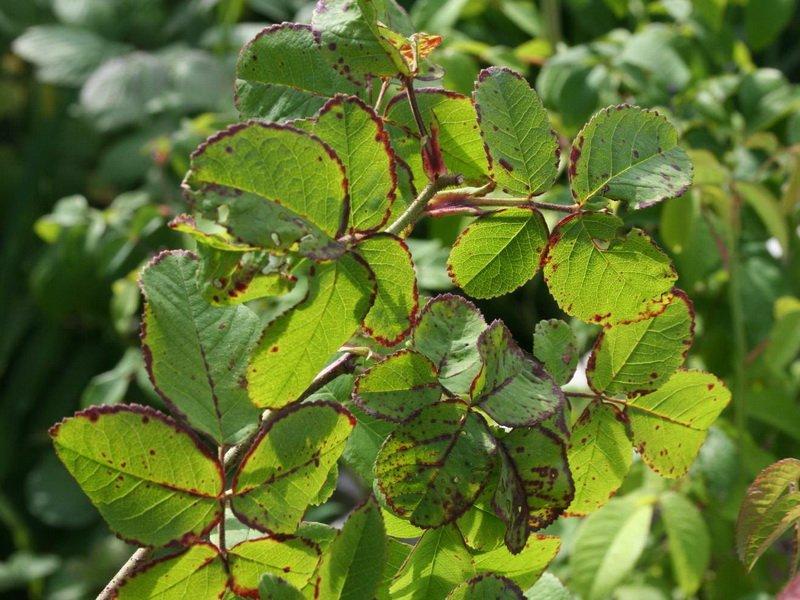 Вредитель роз долгоносик (фото)