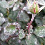 Как и чем лечить ржавчину на розах