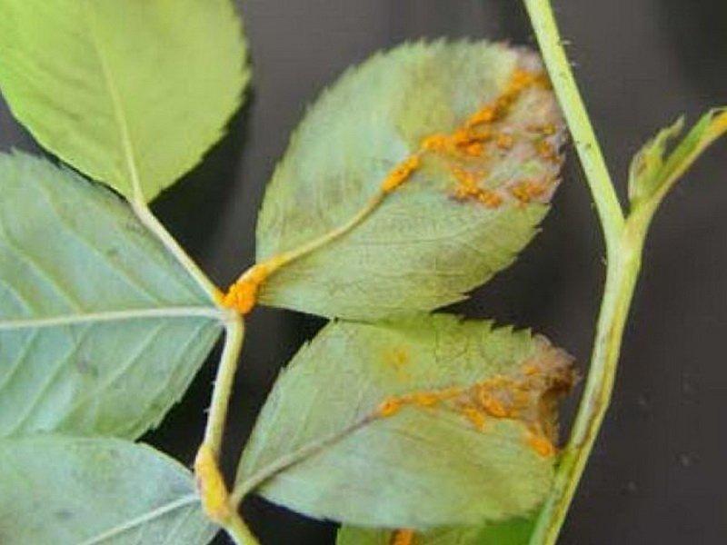При болезни роз ржавчина на листьях с нижней стороны летом образуются мелкие, красно-желтые подушечки летних спор (фото)