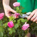 Черные пятна на розах: что делать, как лечить и чем обработать