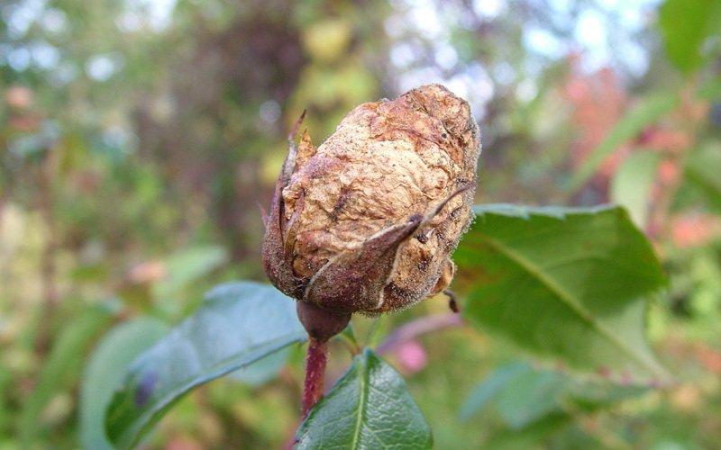 Серая гниль на розах: как бороться с болезнью