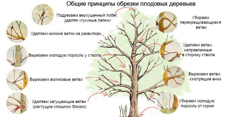 Общие принципы и правила обрезки плодовых деревьев своими руками фото
