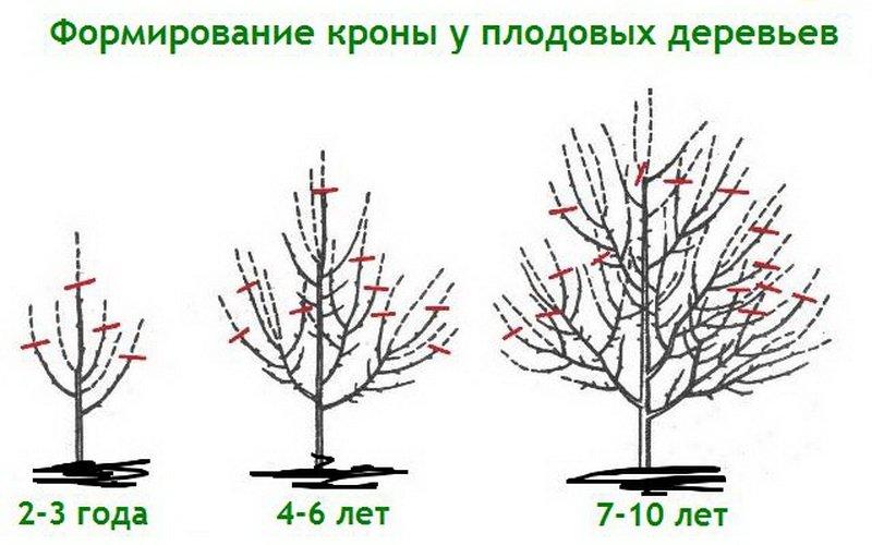 Правильные приёмы обрезки плодовых деревьев: технология подрезки и вырезки
