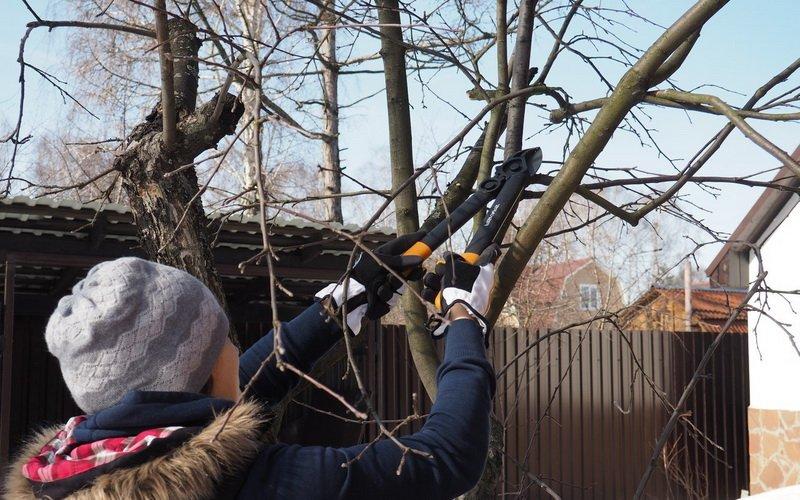 Виды обрезки плодовых деревьев: санитарная, формирующая и омолаживающая
