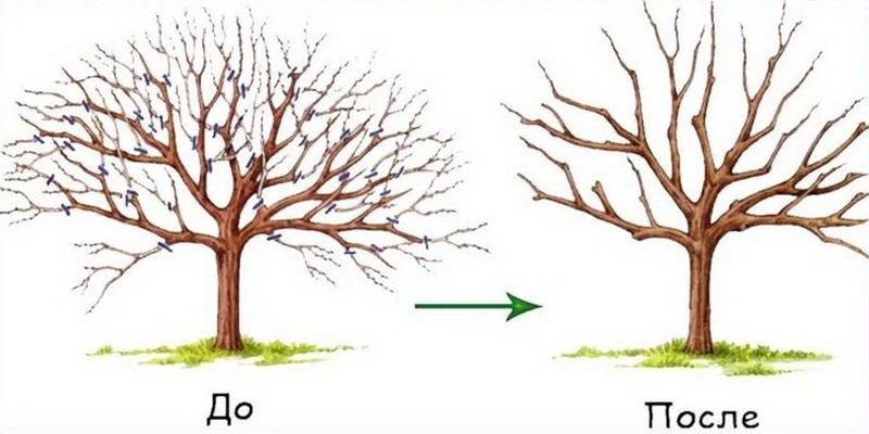 Обрезка волчков плодовых деревьев на плодоношение