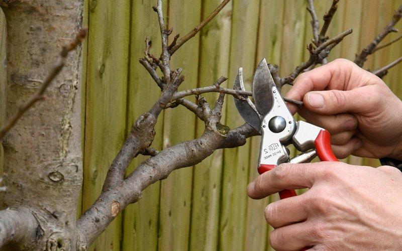 Обрезка фруктовых деревьев в саду: срез на почку (с фото)