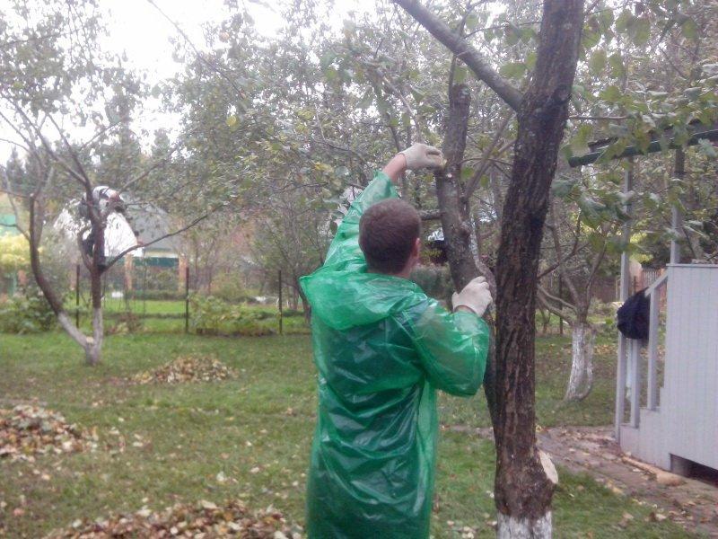 Обрезка фруктовых деревьев на кольцо  на фото