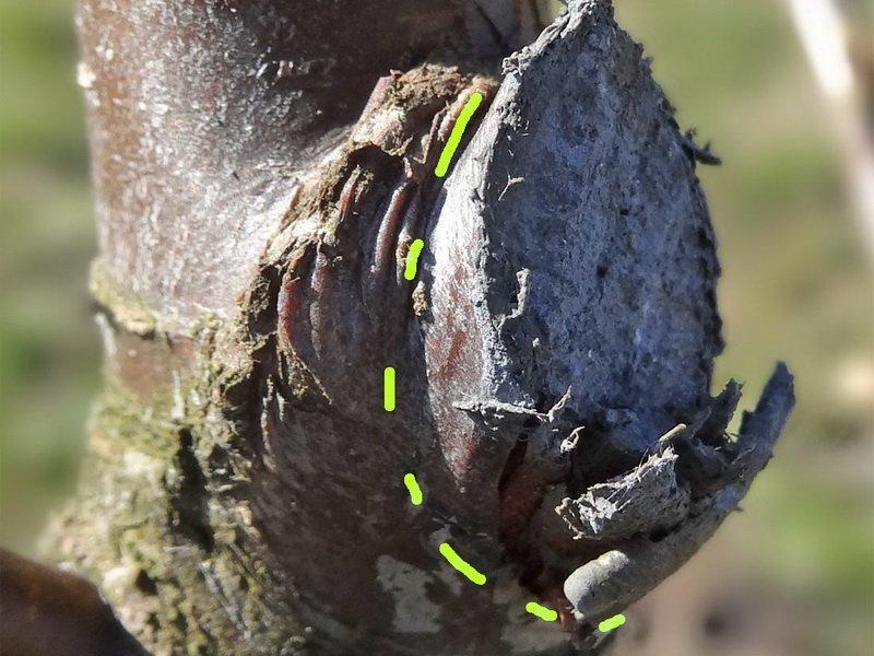 С дальнейшим ростом и развитием границы приростов стираются, но при небольшой практике вы научитесь видеть кольцевые наплывы (фото)