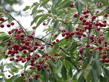 Правильная обрезка деревьев вишни
