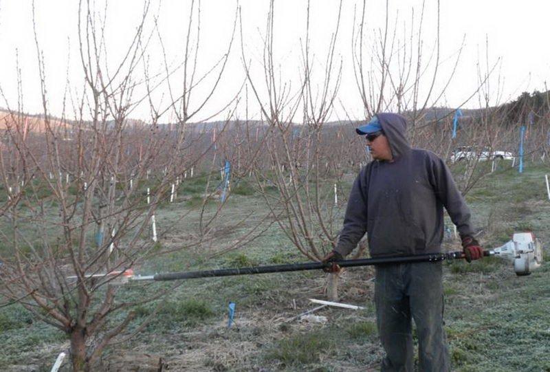 Как делать обрезку вишни: правила и особенности