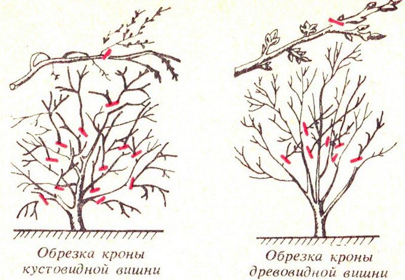Правильная обрезка кустовидной вишни