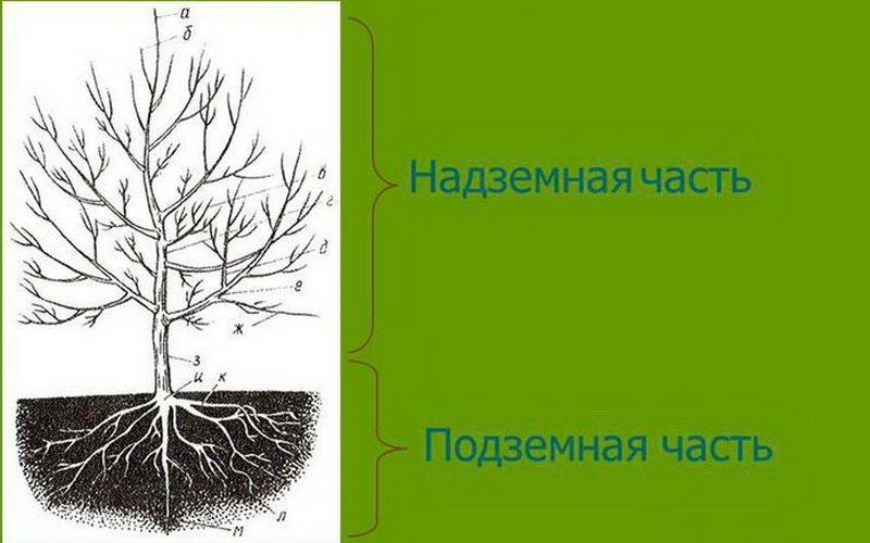 Скелетные и полускелетные ветви плодового дерева