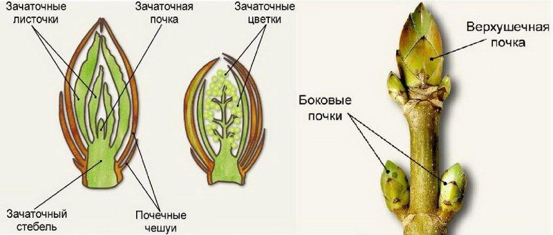 Побеги и почки плодового дерева