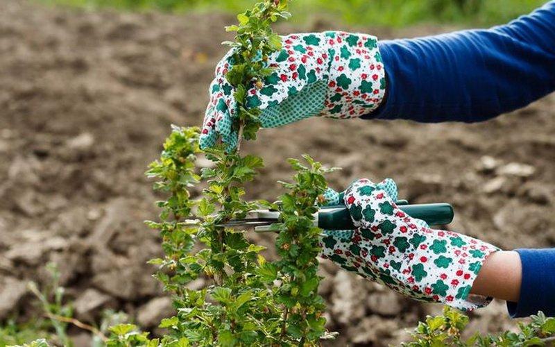 Как правильно делать обрезку садового крыжовника