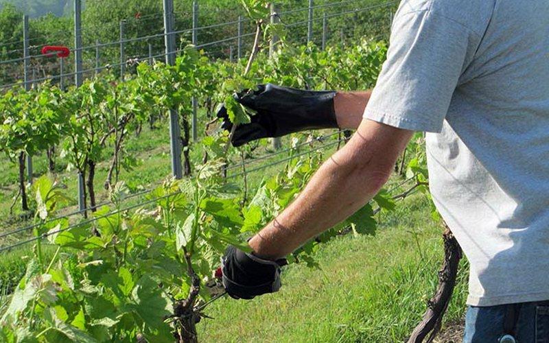 Обрезка винограда: фото и описание