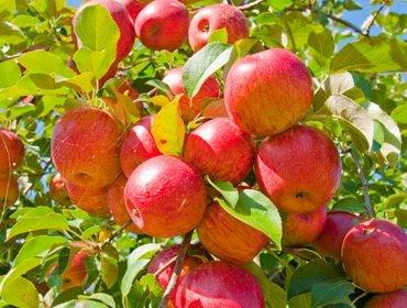 Обрезка и формировка яблони: рекомендации для начинающих