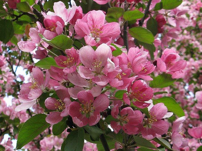 Яблоня Недзвецкого с ярко-малиновыми цветками на фото