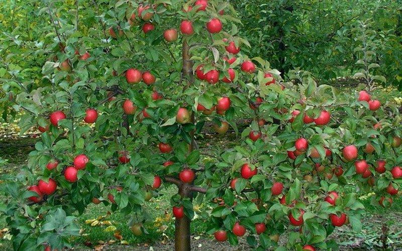 Как правильно сделать обрезку и формировать крону у молодых яблонь