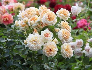 Удобрения для роз: лучшие подкормки и стимуляторы