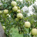 Весенняя и осенняя обрезка яблони: как обрезать колоновидную и карликовую яблоню