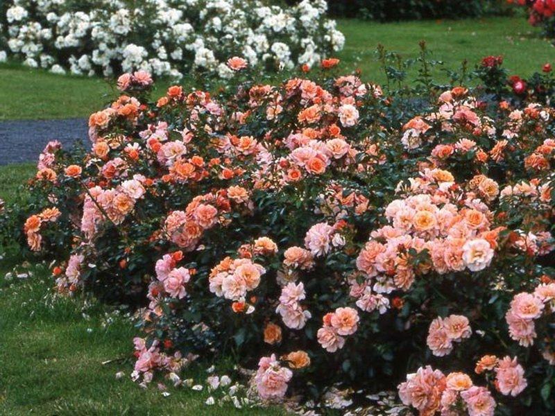 Роза «Кисс» на фото