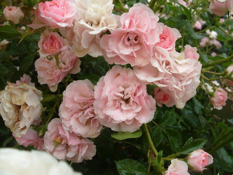 Цветок нежно-розовый, перламутровый, махровый (фото)