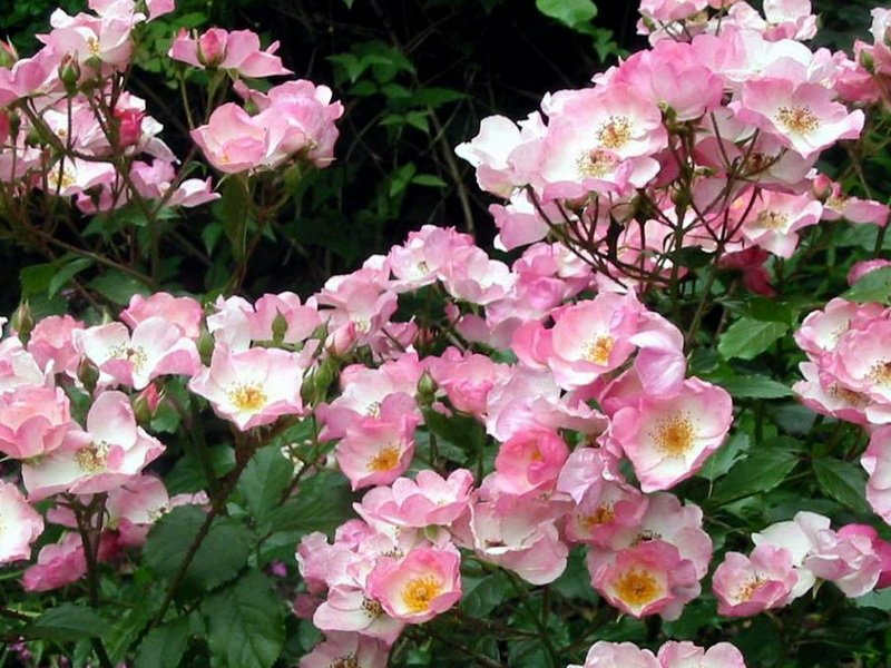 Розы почвопокровные «Эссекс» на фото