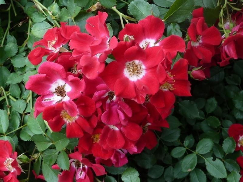 Цветок розы «Ред Беллз» на фото