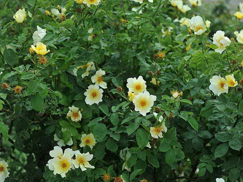 Розы почвопокровные «Саффолк» на фото