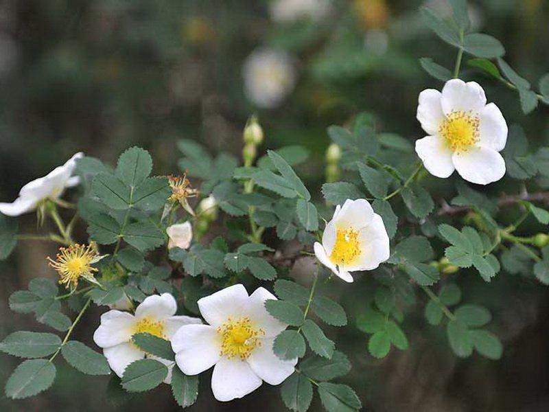 Цветы розы «Саффолк» на фото