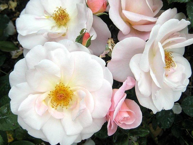 Цветы розы «Сассекс» на фото