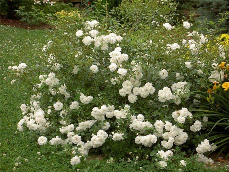 Розы почвопокровные «Свони» на фото