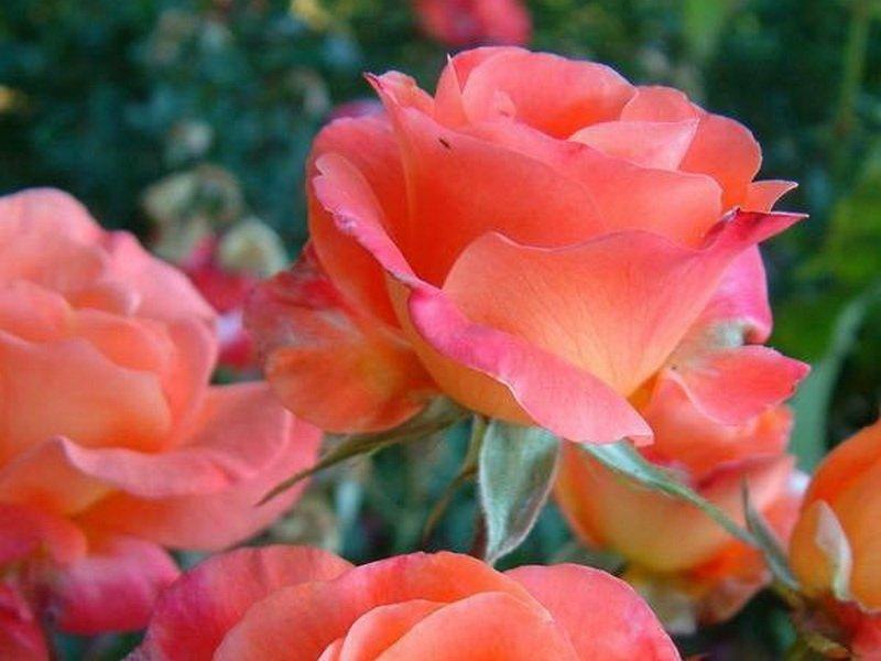 Цветки крупные, бокаловидные, одиночные, нежной лососево-розовой матовой окраски (фото)